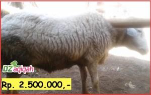 Hewan kambingnya telah berumur 8 bulan hingga 12 bulan