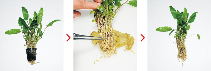 Подрезка криптокорин и растений среднего плана перед высадкой - инструкция ADA