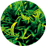 Microsorum sp. (Trident)