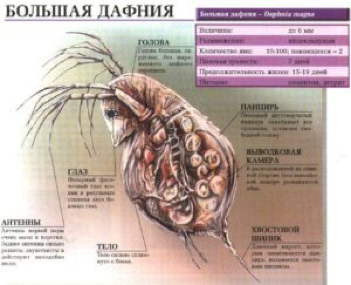 Строение дафнии магна (daphnia magna)