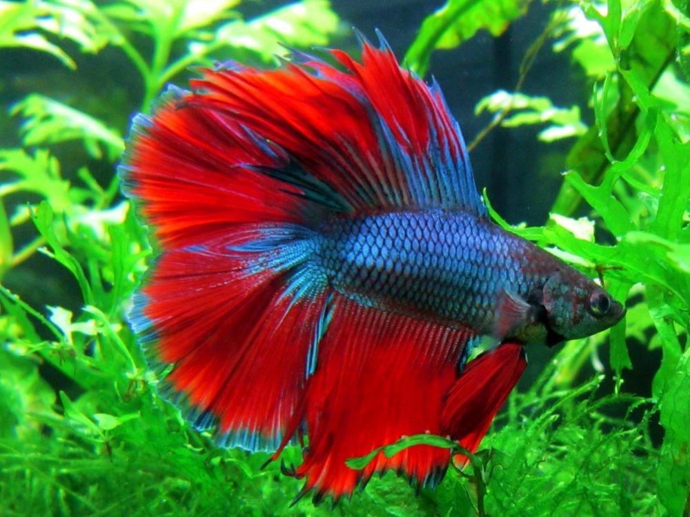 Бойцовая рыбка - петушок (Betta Splendens)