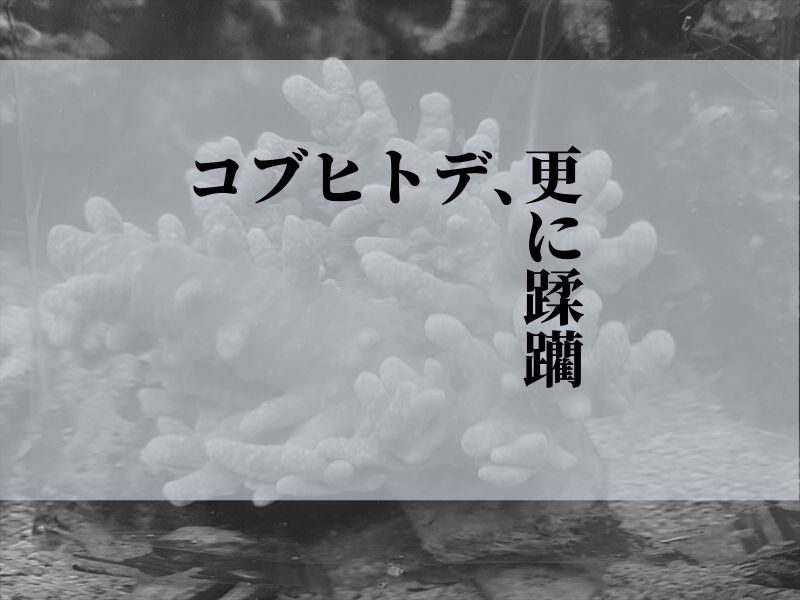 コブヒトデ、サンゴ食害する