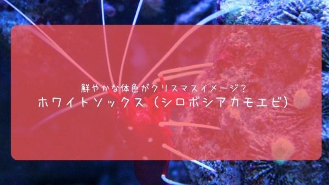 ホワイトソックス 海水性エビ