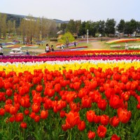 A park in Awaji Island :  Plenty of tulips in full bloom 1