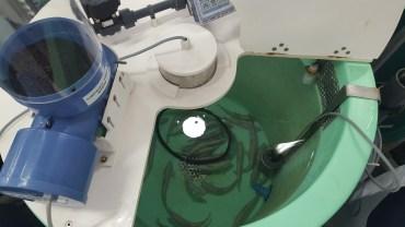 atlantic salmon in the tanks