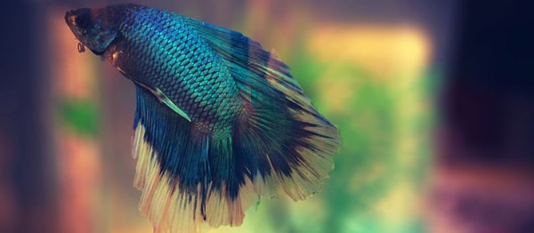 Болезни рыбок петушков (фото с симптомами), лечение ...
