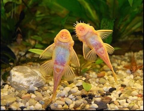 Род Ancistrus Любителям аквариума