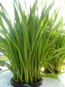 Wheat grass baby fields