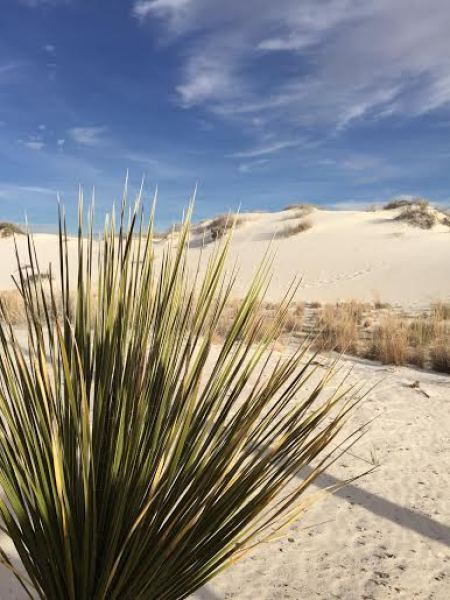 white sands sotol