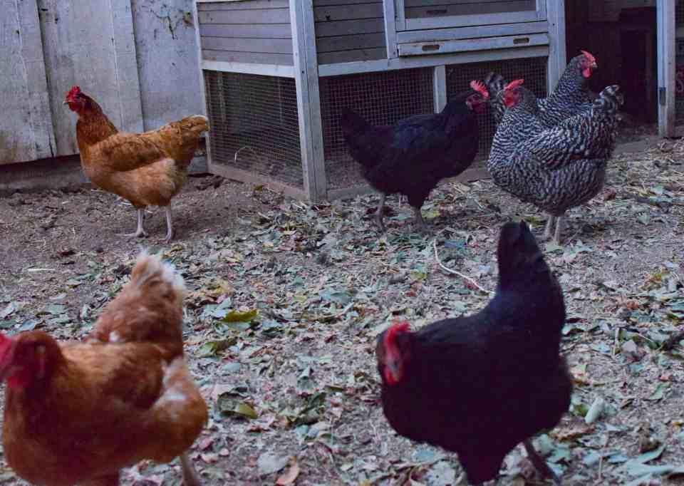 Six backyard Chickens near coop
