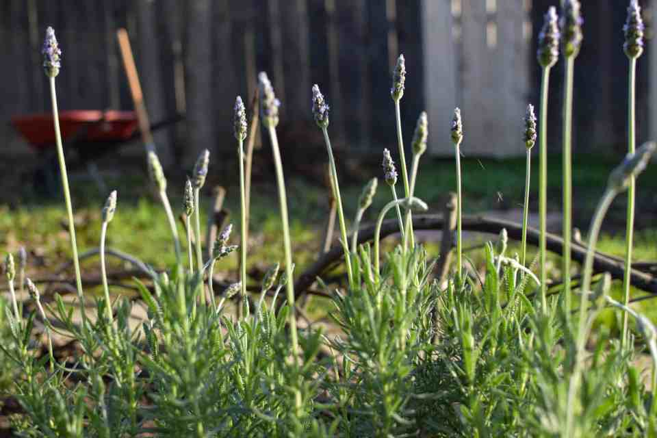 the garden walk with lavendar