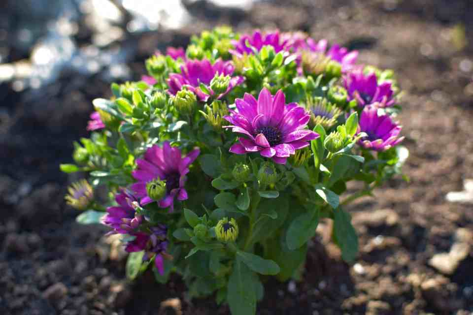African Daisys for pollinating those easy to grow list items
