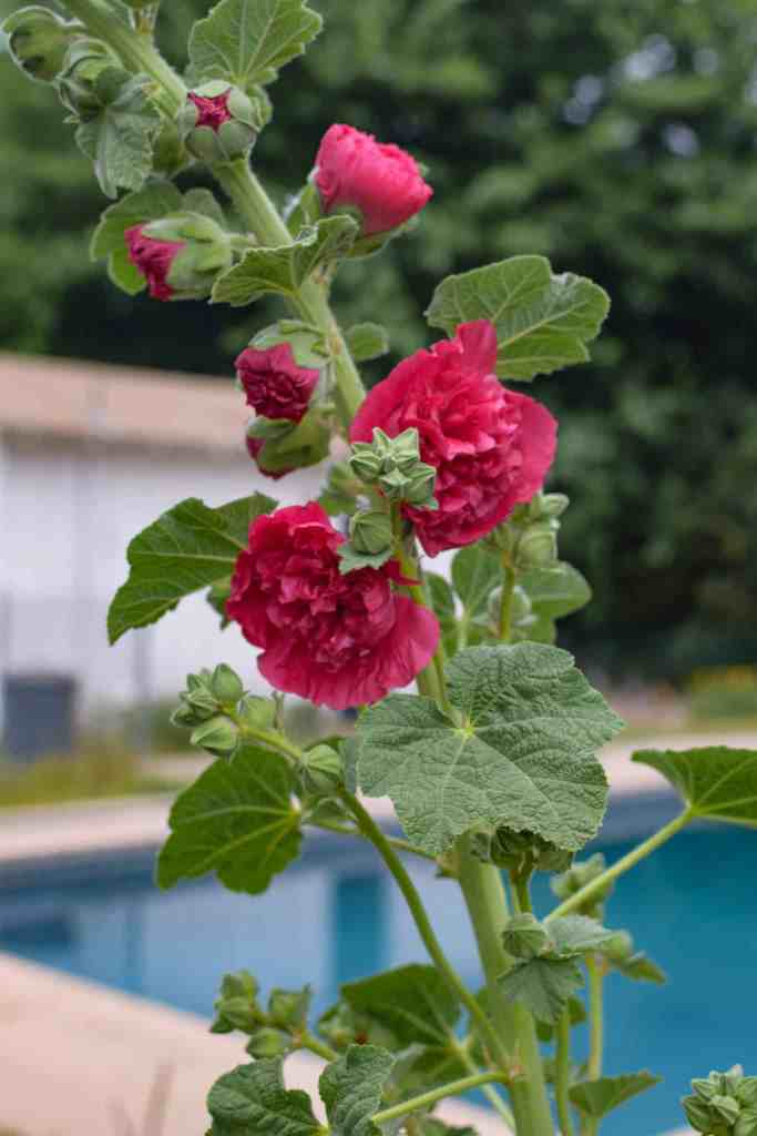 a beautiful holyhock shows hope and encouragment in quarantine