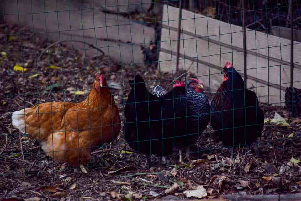 orange, black, and spotted chickens in run at a urban farmhouse in the city