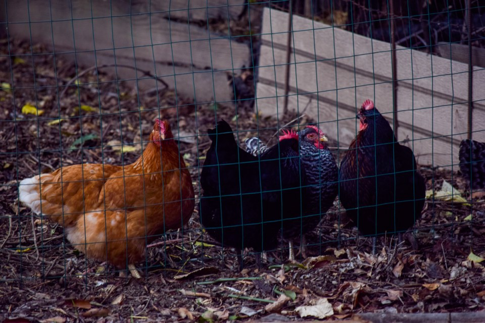 keeping a flock of backyard chickens in a simple farmhouse life