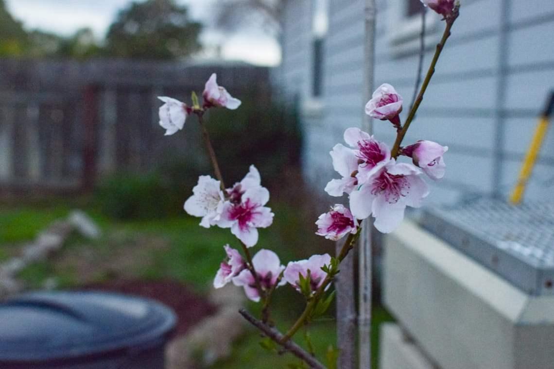 cherry blossom upclose