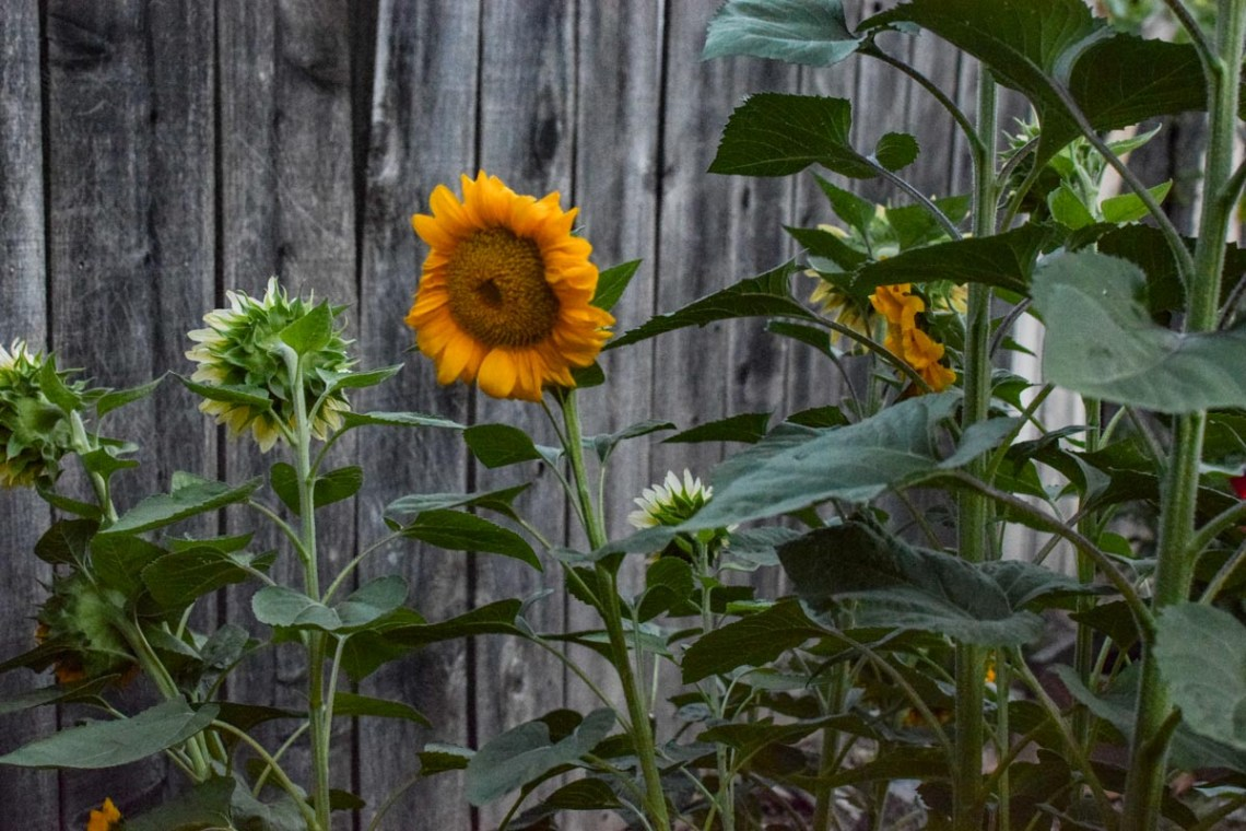 sunflowers near a fence