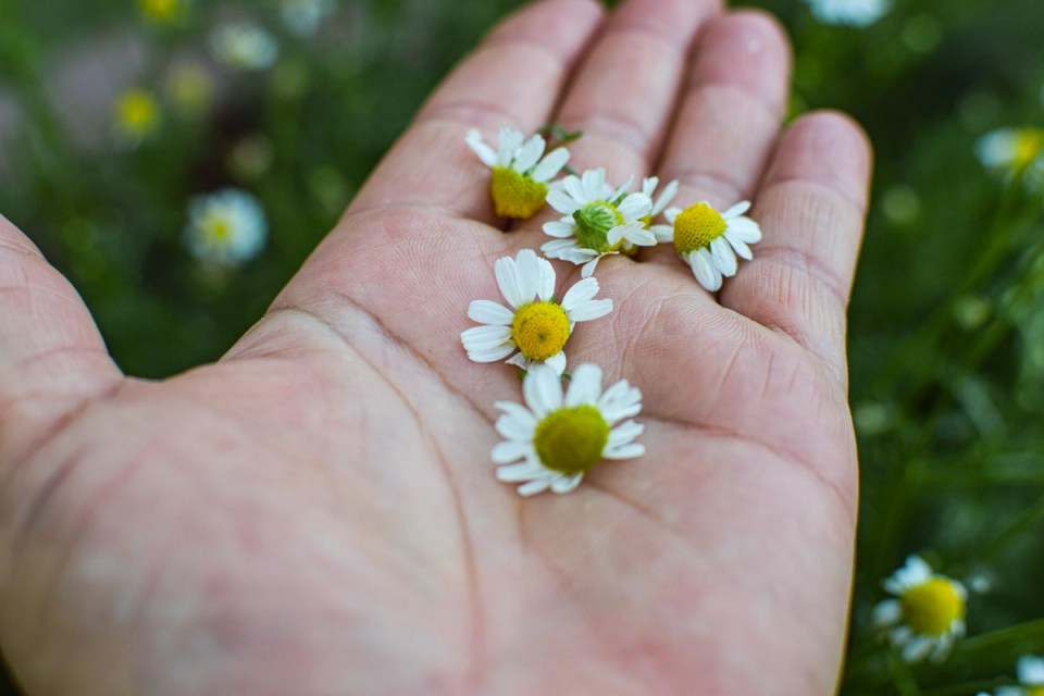 harvesting chamomile flowers for hot and cold brew tea