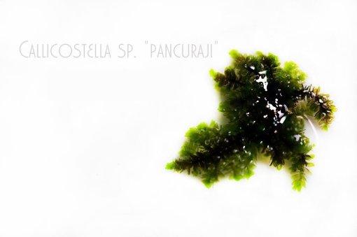 Callicostella sp. Pancuraji