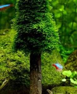 Akvaryum Moss Ağacı