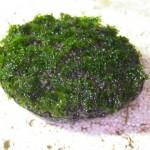 TyingMoss31 150x150 Cara Menanam Moss, Riccardia atau Fissiden