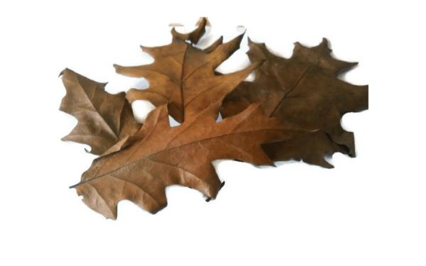 oak leaves for aquarium aquaplantscare.uk
