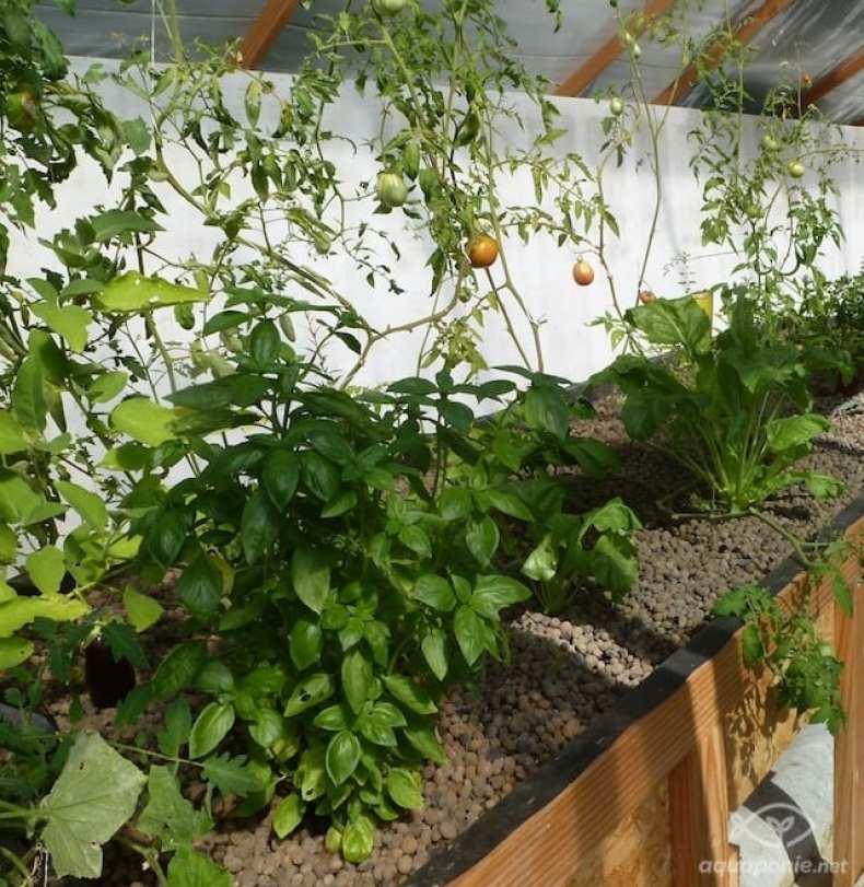 Production de basilic, tomates et bettes dans ma serre d'aquaponie...