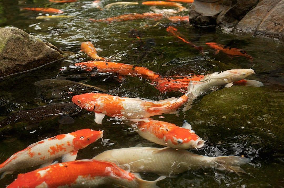 convertir un bassin en aquaponie