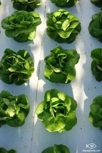salade sur radeau en DWC