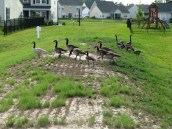 canad_geese_erosion