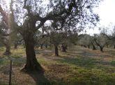 olivenbaum, olivenbäume, olive tree, olive trees, olivenhain, toskana, tuscany