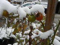 winter, schnee, snow, garten, pleissing, tomaten