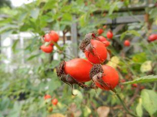 Hagebutte, dog rose, heckenrose