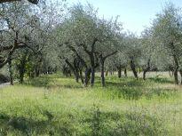 bäume, trees, arbres, landschaft, landscape, paysage, olivenbäume, olive trees, olivier, morgen, morning, matin, italien, italy, italie, toskana, tuskany, toscane, montemarciano