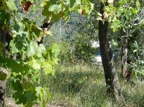 bäume, trees, arbres, landschaft, landscape, paysage, olivenbäume, olive trees, olivier, olivenhain, olive grove, olivaie, morgen, morning, matin, italien, italy, italie, toskana, tuskany, toscane, montemarciano