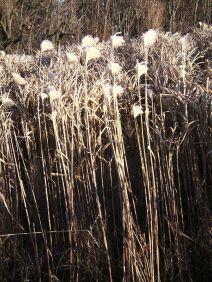 gras, grass, herbe, erba, hierba, elefantengras,
