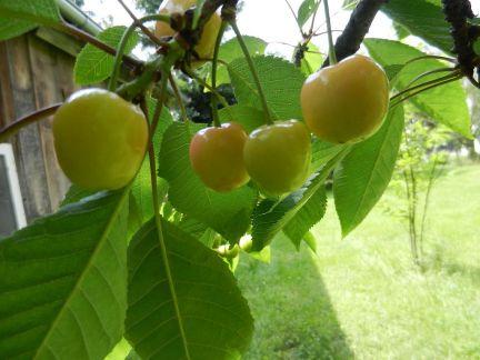 kirsche, cherry, cerise, ciliegia, cereza, rot, red, rouge, rosso, rojo, roja, rubro, ruba,