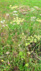 wiese, meadow, lawn, grassland, prairie, prato, pradera, blume, flower, fleur, fiore, flor, blumen, flowers, fleurs, sommer, summer, été, estate, verano, estío,