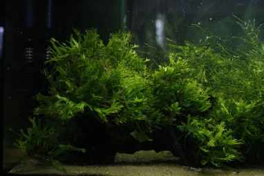Java fern comes in multiple varieties. Pictured here is lace ('Windeløv') Java fern.
