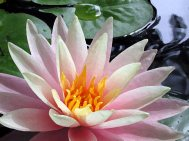 waterlily in water