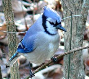 Sheldon Bird bird