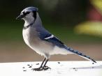 Sheldon Bird blue bird