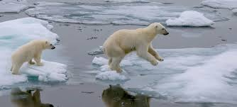 Climate Change Leaping Polar Bears
