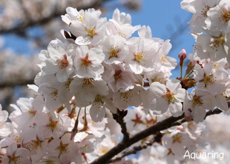 多武峰の桜(サクラ)