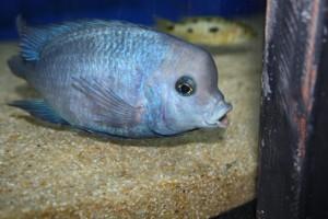 Аквариумная рыбка голубой дельфин содержание в аквариуме