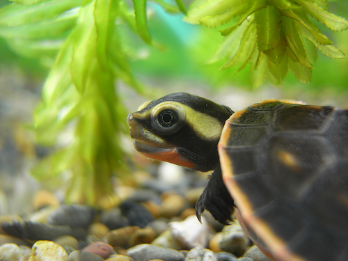 photo credit: ちびカメ Baby turtle via photopin (license)
