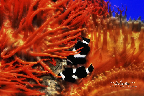 photo credit: Black Clownfishes (DSC_0055) via photopin (license)