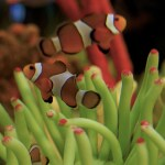 photo credit: Clown Fish via photopin (license)
