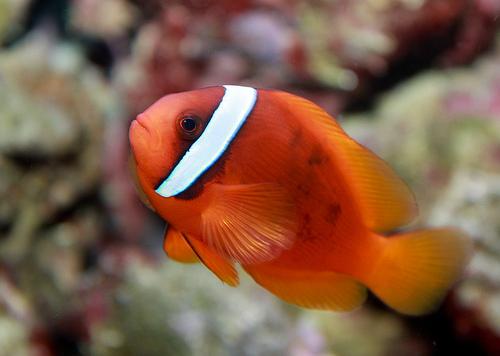 photo credit: tomato clownfish, Amphiprion frenatus via photopin (license)