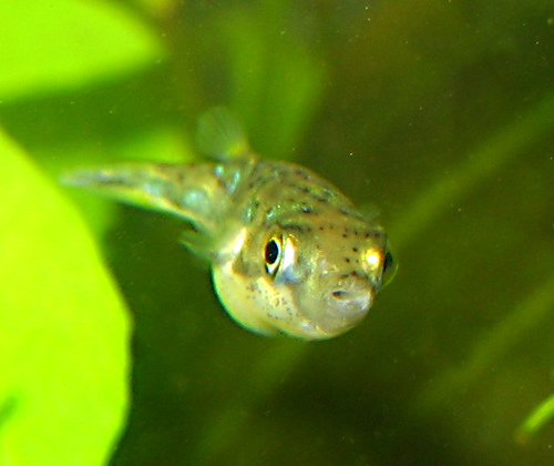 photo credit: Dwarf puffer fish via photopin (license)
